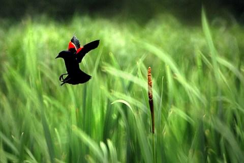 Cattail Blackbird