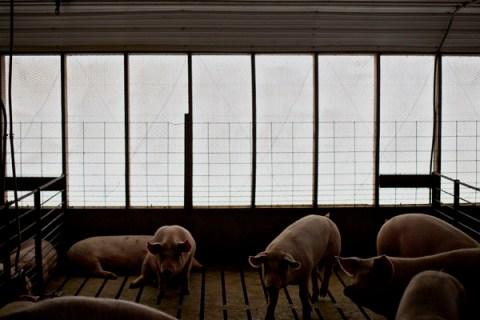 Pig Farming At A Lehmann Bros. Farm LLC